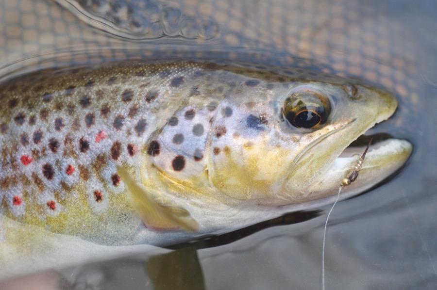 wild trout Devon UK
