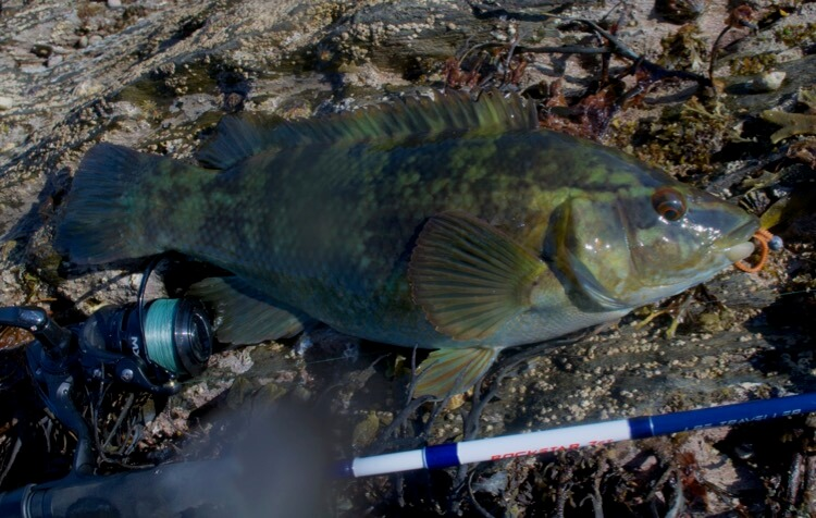 Ballan wrasse lure fishing spots Devon
