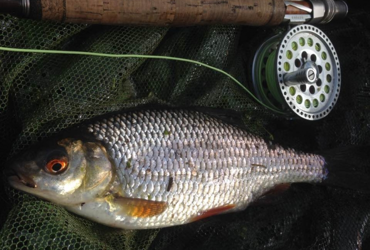 fly fishing for roach