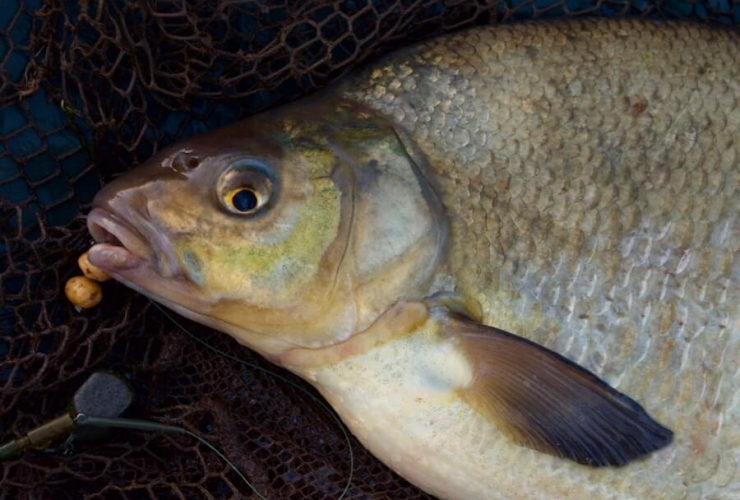 Exeter canal fishing bream