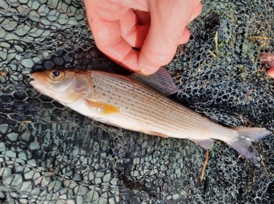 Grayling fly fishing river tone Somerset
