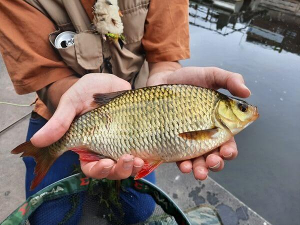 canal rudd fishing
