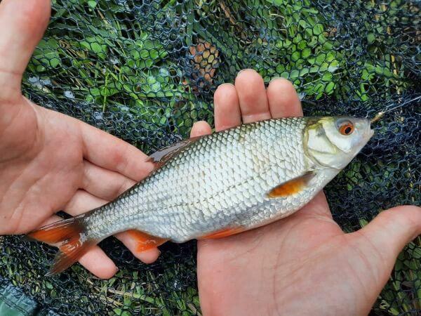 roach fishing Somerset