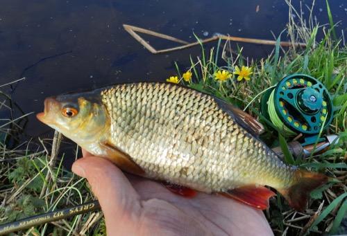 fly fishing for coarse fish rudd